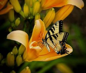 old-world-swallowtail-144053_640
